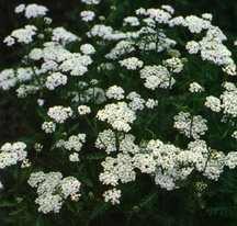 Yarrow, 'White Beauty'