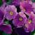Primulas: Primula Obconica, 'Libre™ Lavender'