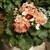 Primulas: Primula Obconica, 'Libre™ Orange'