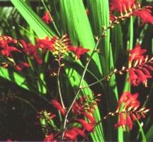 Bulbs_crocosmia_x_crocosmiiflora_lucifer-1.full