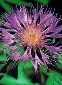 Cornflower, Persian