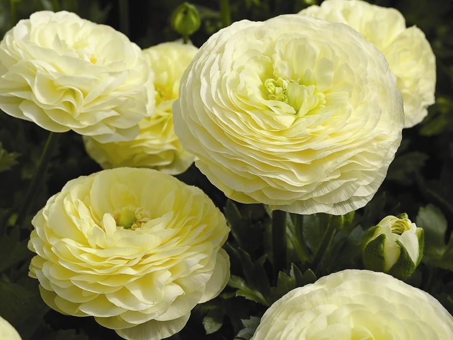 Ranunculus_ranunculus_asiaticus_mach_tm_cream-1.full