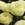 Ranunculus: Ranunculus Asiaticus, 'MachĪ Cream'