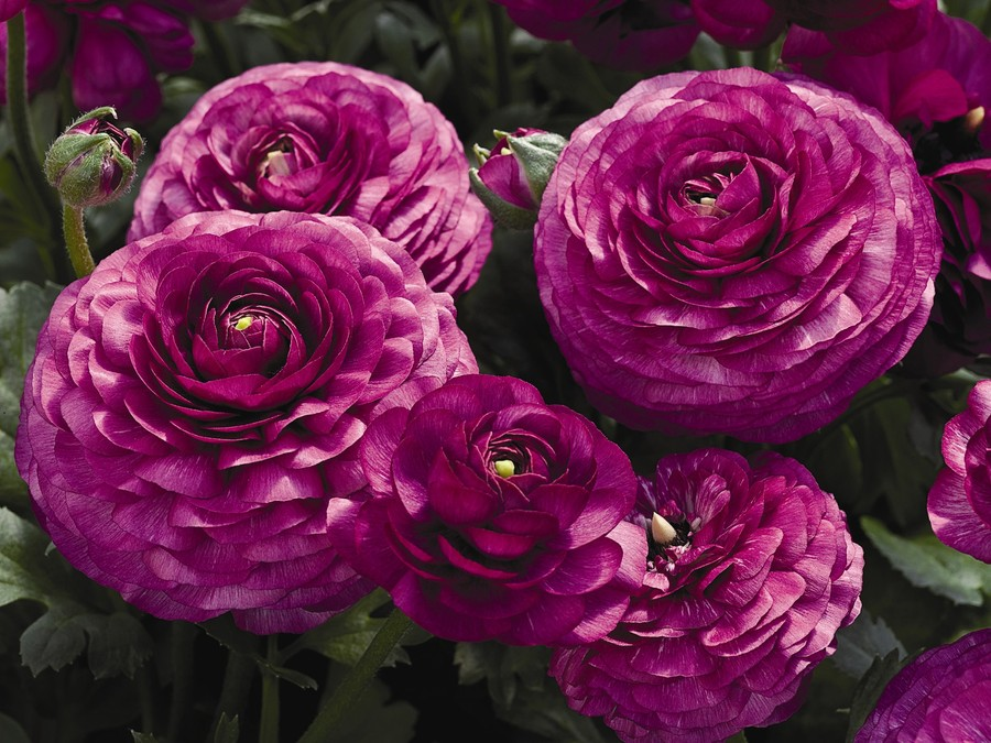 Ranunculus_ranunculus_asiaticus_mach_tm_purple-1.full