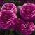 Ranunculus_ranunculus_asiaticus_mach_tm_purple-1.small