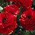 Ranunculus_ranunculus_asiaticus_mach_tm_red-1.small