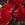 Ranunculus: Ranunculus Asiaticus, 'MachĪ Red'
