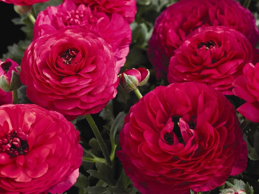 Ranunculus_ranunculus_asiaticus_mach_tm_rose-1.full