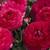 Ranunculus_ranunculus_asiaticus_mach_tm_rose-1.small