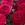 Ranunculus: Ranunculus Asiaticus, 'MachĪ Rose'