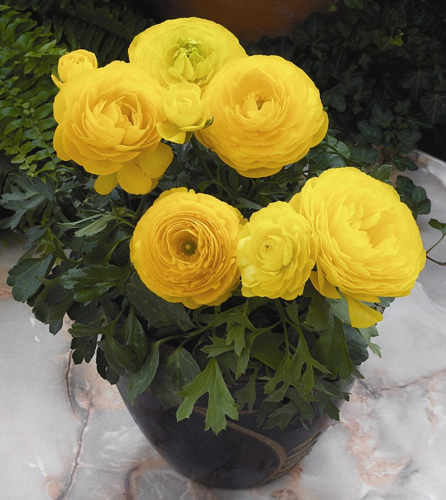 Ranunculus_ranunculus_asiaticus_mach_tm_yellow-1.full