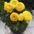 Ranunculus_ranunculus_asiaticus_mach_tm_yellow-1.small