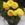 Ranunculus: Ranunculus Asiaticus, 'MachĪ Yellow'