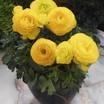 Ranunculus_ranunculus_asiaticus_mach_tm_yellow-1.thumb