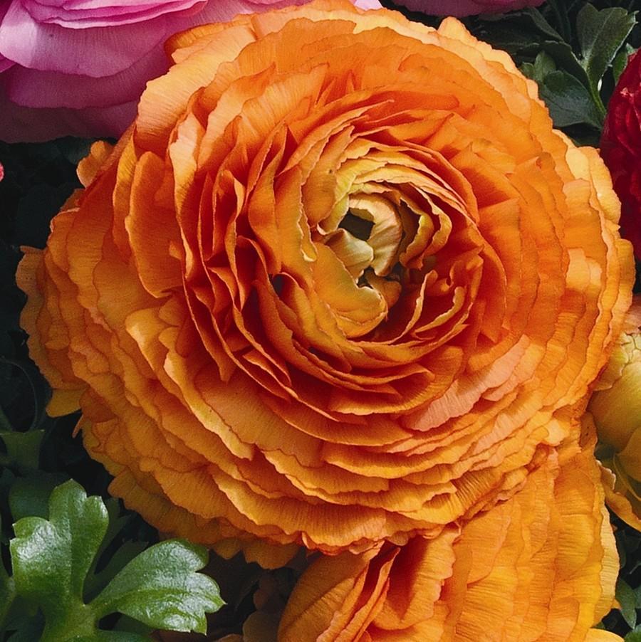 Ranunculus_ranunculus_asiaticus_magic_tm_orange-1.full
