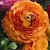 Ranunculus: Ranunculus Asiaticus, 'Magic™ Orange'