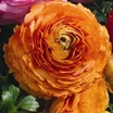 Ranunculus_ranunculus_asiaticus_magic_tm_orange-1.thumb