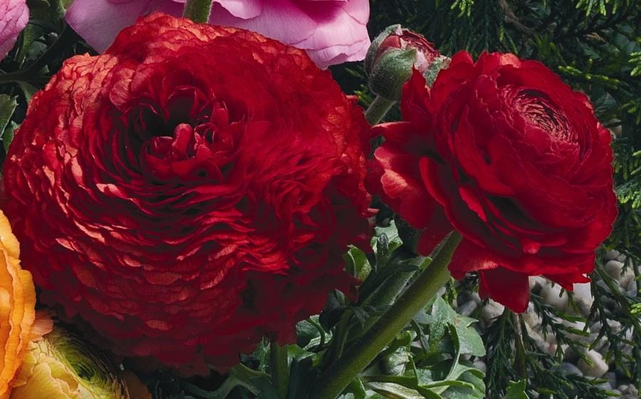Ranunculus_ranunculus_asiaticus_magic_tm_red-1.full
