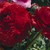 Ranunculus_ranunculus_asiaticus_magic_tm_red-1.small