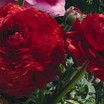 Ranunculus_ranunculus_asiaticus_magic_tm_red-1.thumb