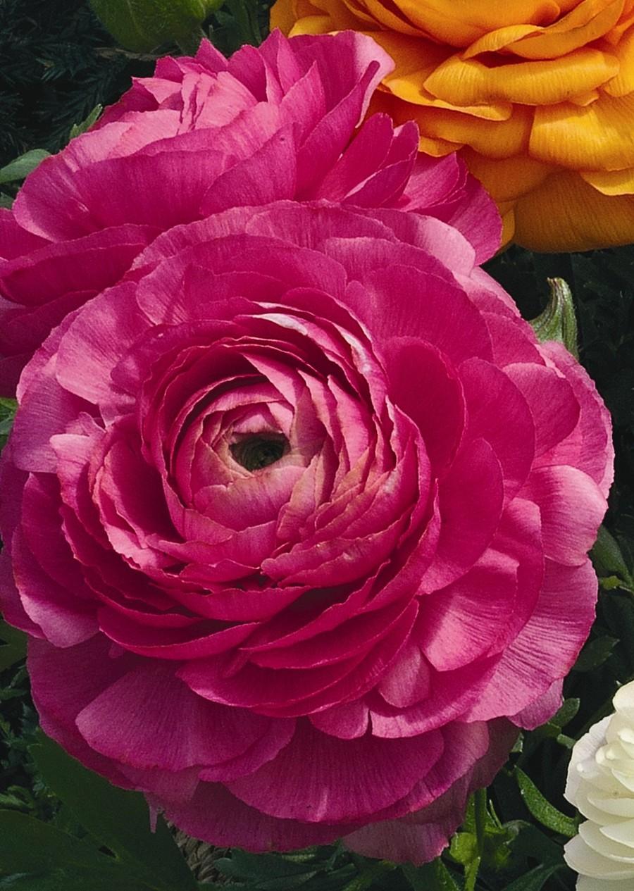 Ranunculus_ranunculus_asiaticus_magic_tm_rose-1.full