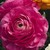 Ranunculus_ranunculus_asiaticus_magic_tm_rose-1.small