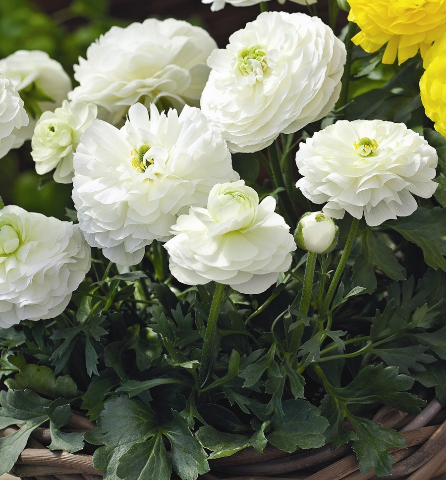 Ranunculus_ranunculus_asiaticus_magic_tm_white-1.full