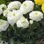 Ranunculus_ranunculus_asiaticus_magic_tm_white-1.small