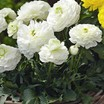 Ranunculus_ranunculus_asiaticus_magic_tm_white-1.thumb