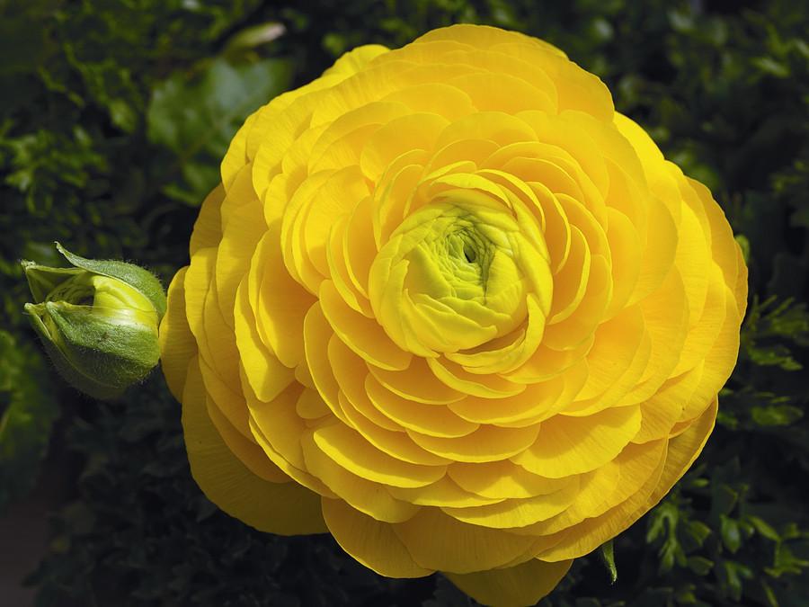 Ranunculus_ranunculus_asiaticus_magic_tm_yellow-1.full