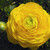 Ranunculus_ranunculus_asiaticus_magic_tm_yellow-1.small