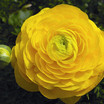 Ranunculus_ranunculus_asiaticus_magic_tm_yellow-1.thumb