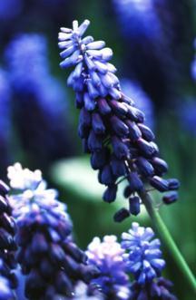 Hyacinths_muscari_latifolium-1.full