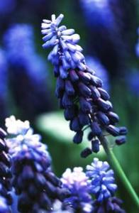 Hyacinth, Grape