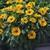 Annuals: Rudbeckia hirta 'Tiger Eye Gold'
