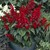 annual salvias: Salvia Splendens, 'Picante™ Burgundy'
