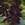 annual salvias: Salvia Splendens, 'Picante™ Purple'