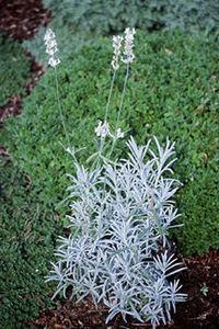 Lavender, White Flowered