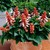 annual salvias: Salvia Splendens, 'Picante™ Salmon'