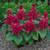annual salvias: Salvia Splendens, 'Salsa™ Burgundy'