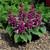 annual salvias: Salvia Splendens, 'Salsa™ Light Purple'