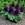 annual salvias: Salvia Splendens, 'Salsa™ Purple'