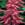 annual salvias: Salvia Splendens, 'Salsa™ Rose'