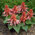 annual salvias: Salvia Splendens, 'Salsa™ Salmon'