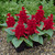 annual salvias: Salvia Splendens, 'Salsa™ Scarlet'