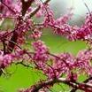 Redbud Tree, American
