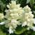 annual salvias: Salvia Splendens, 'Salsa™ White'