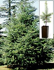 Fir Tree, Douglas