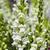 Snapdragon: Antirrhinum majus 'Aromas™ French Vanilla'