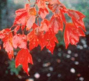 Maple, Red 'Red Sunset'